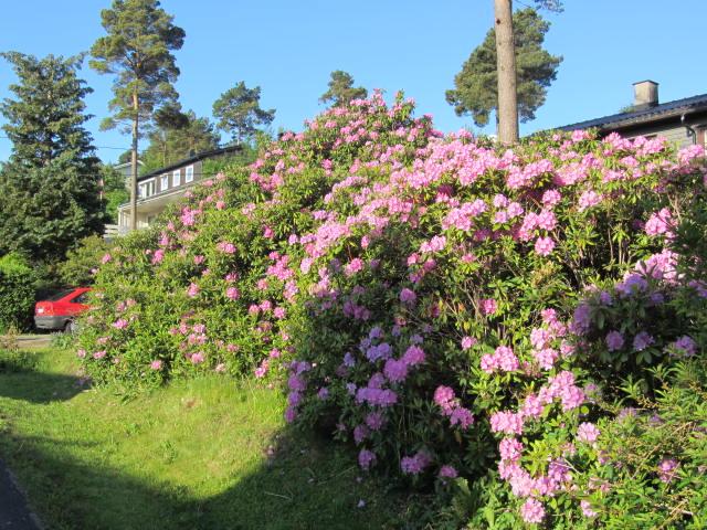 Rhododendron i Bratten terrasse 30
