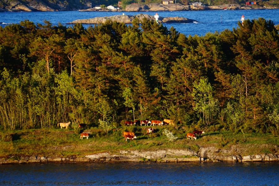 Kyr i kveldssol på Langøya